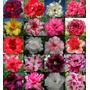 10 Sementes De Rosa Do Deserto Mix(3) Adenium Obesum +brinde