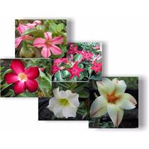 10 Sementes Rosa Do Deserto-adenium -cores Diversas+ Brinde