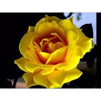 10 Semente Rosa Amarela (raras) + Frete Gratis