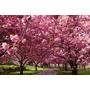 Só Mudas= Muda De Cerejeira Japonesa Flor