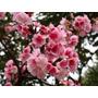 Mudas De Cerejeira Japonesa Sakura (ornamental Rosa)