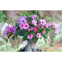 Rosa Do Deserto - 5 A 8 Anos - Super Promoção - Adenium