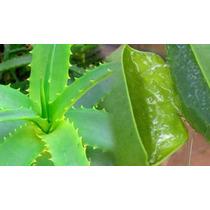 500gr. De Folhas De Babosa Aloe Vera Arborecens