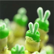 10 Sementes Cactos Lithops Rabbit Pedra Viva + Frete Grátis