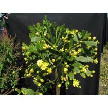 Muda De Brasiliopuntia Brasiliensis - Cactos & Suculentas