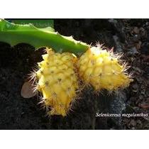 Mudas De Pitaya Amarela Orgânicas
