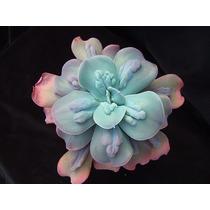 Suculentas - Echeveria Curunculata