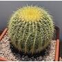 Cactos Potrona De Sogra - Echinocactus Grusonii ---suculenta