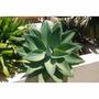 Muda De Agave Attenuata (agave Dragão) Ideal Para Jardins