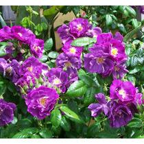 10 Sementes Rosa Trepadeira Púrpura + Frete Grátis