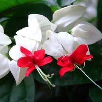 Mudas De Lágrima De Cristo Branca - Com 1m | Florem Em 1 Ano
