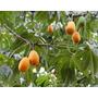 Jaracatia Spinosa Jacaratiá Mamaõ Sementes Frutas Para Mudas