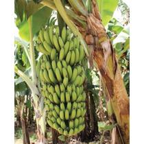 Super Banana Nanicão + Anã Jardim + Prata - Kit Com 9 Rizoma