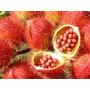 Urucum Colorau Planta Medicinal Afrodisíaco 150 Semente Nova