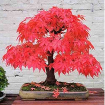Red Maple Tree - Acer Palmatum 10 Sementes