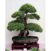 20 Sementes De Árvore De Cinzas Para Bonsai + Brindes