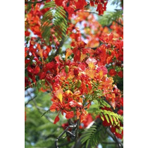 Flamboyant Anã Árvore Jardim Vasos Ave Beija Flor Vermelha
