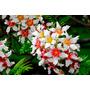 Sementes Castanha De Flor Chinesa Xanthoceras P/ Mudas