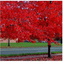 Semente Plantas Em Vasos Folhas Vermelha 20 Uni.americana