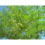 Moringa Oleífera - Um Milagre Da Natureza - 500 Sementes