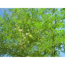 Moringa Oleífera - (melífera) - 30 Sementes