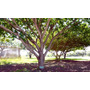 10 Sementes Da Linda Árvore Fava De Bolota