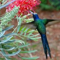 Beija Flor Vermelha Grevílea Anã De Jardim 50 Sementes Novas
