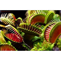 Semente Plantas Carnívoras - 50 Sementes - Dionaea Muscipula