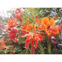 Flamboyant Anã Árvore Flor Vermelha Jardim 200 Sementes Nova