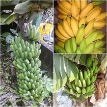 Kit Super Bananas Nanicão Prata Anã Jardim 6 Mudas Rizomas