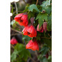 Sementes Flor Lanterna Chinesa Abutilon X Hibriddum P/ Mudas