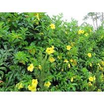 Sementes De Rosas Trepadeiras Amarelas