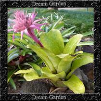 Bromelia Mix Sementes De Flor Prontas Para Plantio E Mudas