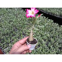 Rosa Do Deserto Kit Com 10 Mudas