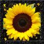Girassol Amarelo Alto Sementes Flor Para Mudas