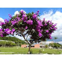 Sementes Quaresmeira Roxa Tibouchina Granulosa Flor P/ Mudas
