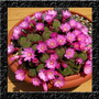 Sementes De Flor Cactos Do Gênero Rebutia P/ Mudas