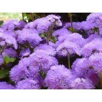 450 Sementes Da Flor Agerato Mexicano Azul #xeha