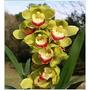 Muda Da Linda Orquidea Cymbidium Verde