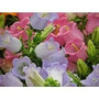 Sementes Da Flor Campainha Dobrada + Frete Gratis #tyo6