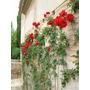 Rosa Trepadeira Vermelha Sementes Flor Para Mudas