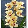 Muda Da Linda Orquidea Cymbidium Amarelo