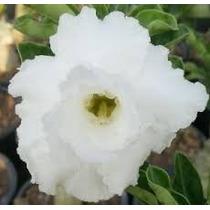 Rosa Do Deserto Kit Brancas ( 6 Cores - 18 Sementes) Adenium