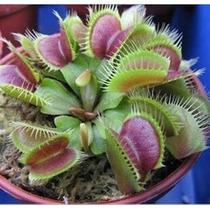 50 Sementes Planta Carnívora, Planta Rara - Compre 1 Leve 2