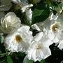 Rosa Trepadeira 100 Sementes 10 Cor (10 Semente De Cada Cor)