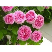 Rosa Trepadeira 50 Sementes 10 Cores (5 Semente De Cada Cor)