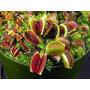 Carnívora Dionaea Gigante ¿ 25 Sementes+manual