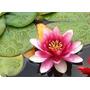 Flor De Lotus 5 Cores Para Mudas -50 Sementes+manual