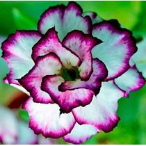 Adenium Obesum 25 Sementes 25 Cor Rosa Do Deserto - Triplas