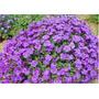 Violeta Rainha Africana Bonsai Plantas Flores